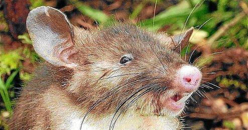 Imagen de esta nueva especia de roedor con nariz de cerdo.