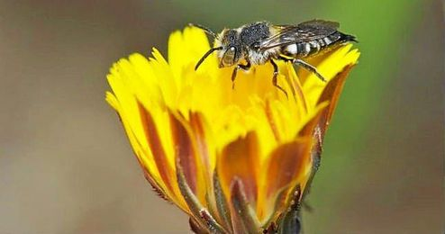 La sustancia adem�s, las lleva a comunicar la buena noticia a otros miembros de su colonia mediante un baile.