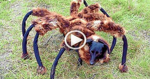 (Vídeo) El regreso del perro-araña mutante