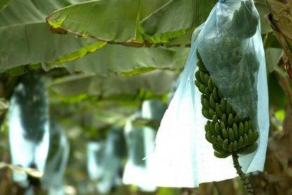 Los agricultores de Canarias donan 80 toneladas de plátano a los bancos de alimentos